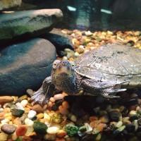 Turtle Aquarium Richardson Nature Center MN