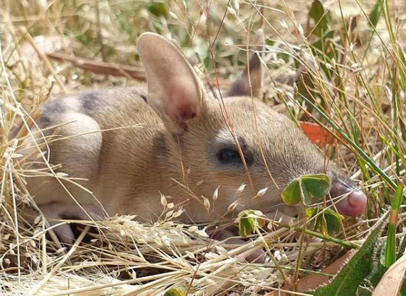 Bandicoot Marsupial Photo