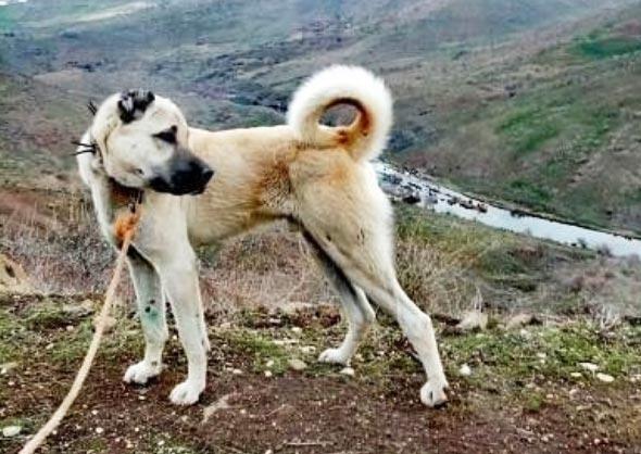 Alibi Dog Breed